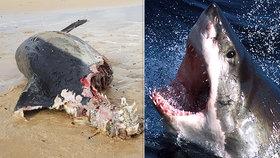 Angličany jímá hrůza z lidožravého žraloka. Moře vyplavilo podezřelou mršinu