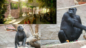 Gorilám v pražské zoo začali betonovat pavilon: Do dvou let budou v novém, daleko od vody