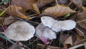 Čirůvka havelka, chutná podzimní houba. Pozor ale na záměnu s jedovatými čirůvkami
