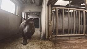 VIDEO: Nový ženich pro hrošici Marušku: Do pražské zoo se přestěhoval tříletý Francouz Tchéco