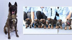 Šest policejních psů v Číně naklonovali. Stejné plemeno dopadlo i šéfa ISIS Bagdádího