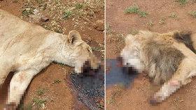 Brutální masakr nevinných lvů: Pytláci jim uřezali tlamy a tlapy
