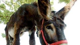 Nejen nosorožci. Vymření vážně hrozí kvůli čínské medicíně i oslům