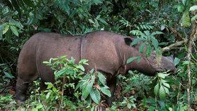 Smutná zpráva: Zemřel poslední nosorožec sumaterský, druh tím vyhynul