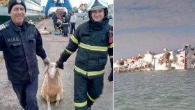 Loď s ovcemi se převrhla kousek od břehu. Záchranáři bojují o život tisíců zvířat