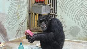 Pro opice chystají v zoo Brno Vánoce: Šimpanzi si rozbalí dárečky pod stromečkem