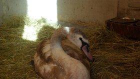 Hororový Silvestr pro labutě v Praze! Jedna uhynula, pět se jich poranilo