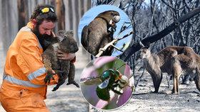 """""""Mají žárem roztavené nehty"""". Koalové trpí v plamenech, kakadu může vymřít úplně"""
