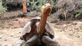 Zplodil 800 potomků. Želví samec Diego s legendárním libidem jde na svobodu