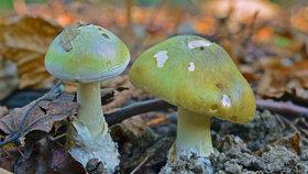 Jak vypadá muchomůrka zelená, nejjedovatější houba Evropy? Mykolog prozradil, na co se dívat