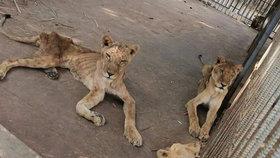 """Lvice ze """"zoo smrti"""" uhynula, byly jí vidět kosti. Zahrada tvrdí: Nebyly peníze"""