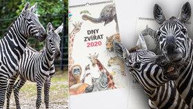 V pražské zoo letos oslaví každý měsíc jiné zvíře: Leden patří zebrám!