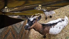 Letošní mimina v brněnské zoo: Prvenství připadlo čtyřokým rybám a kamerunským kozám