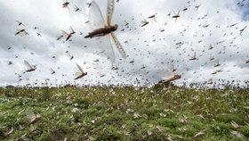 Miliony sarančat žerou úrodu. Somálsko kvůli hmyzí invazi vyhlásilo nouzový stav