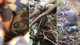 Koalí masakr: Farmář obviněný ze zabití desítek vačnatců tvrdí, že pošli hlady