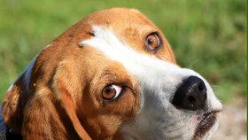 10 nejchytřejších plemen psů. Patří mezi ně pudl, retrívr i dobrman