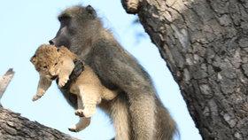 Výjev jak z Lvího krále: Pavián pečoval o lvíče, fotograf jen zíral