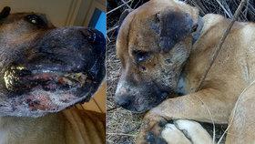Pro pobavení lidí při ilegálních zápasech umírají psi: Zmrzačený Hector je důkazem kruté reality