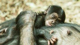 Za lidoopy chodí ošetřovatelé jen v rouškách: Bojí se, aby zvířata nenakazili