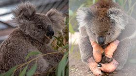 Koalové jsou na cestě k vyhynutí, potvrdila studie. Plameny zabily pět tisíc medvídků