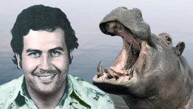 Kuriózní dědictví Pabla Escobara: Kokainoví hroši devastují ekosystém, hrozí útoky na lidi
