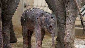 VIDEO: Slonice Tamara v pražské zoo porodila holčičku! Podívejte se na její první okamžiky
