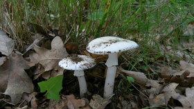 Muchomůrka jarní: Vzácná houba podobná žampionu. Jak ji poznat?