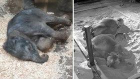 Sloní šlofík v Zoo Praha! Takhle roztomile spí slůně s mámou, na písku dřímou i několik hodin