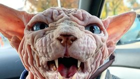 Nejděsivější kočka na světě? Ve skutečnosti je to ten nejmilejší domácí mazlíček!