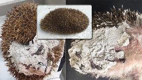 Rozvášněný ježek uvízl v betonu na Vinohradech. Bodlináče vysvobozovali a čistili hodiny
