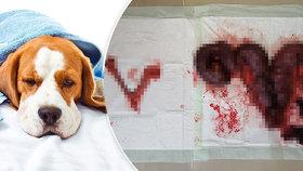 Kastrujte fenky, radí veterinář: Zánět dělohy je může zabít!