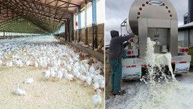 Miliony kuřat musí zabít a vyhodit, mléko i pivo se vylévá. Virus zasáhl produkci potravin
