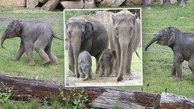 Slůňata v pražské zoo poprvé dováděla před návštěvníky: Po boku maminek si užívala jarního slunce