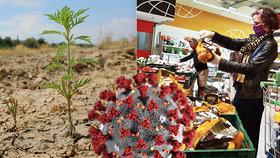 Sucho a koronavirus zamává s cenami: Zdraží hlavně ovoce a zelenina, mají jasno odborníci