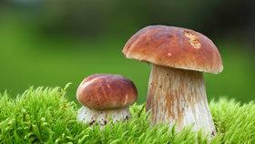 Pravý hřib dubový je skvělý na sušení i řízky. Kde ho hledat?