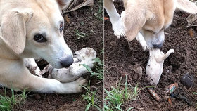 Srdcervoucí snímky: Fenka se snažila oživit své štěně, umřelo při porodu