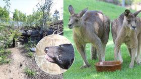 Zoo Praha otevírá Darwinův kráter: Uvidíte ukřičené ďábly a projdete výběhem klokanů