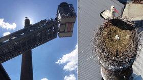 Záchranná akce na Nymbursku: Mláďata čápa museli sundat z hnízda hasiči