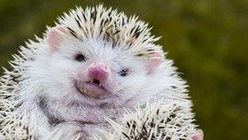 Češi si oblíbili africké ježky. Množírny toho hned využily, nabízí zubožená mláďata