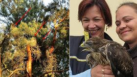 Pošťačky zachránily malé káně: Spadlo z hnízda, zpátky ho vynesl záchranář
