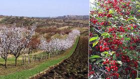 Na české meruňky a třešně letos zapomeňte. Ovocnáři varují před bídnou úrodou kvůli mrazům