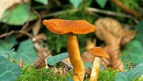 Pavučinec plyšový: Hodně zákeřná houba. Jak ho odlišit od václavky?
