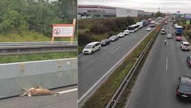 """""""Hřbitov zvířátek"""" na dálnici D10: Na krátkém úseku napočítali 13 těl! Kvůli zábranám?"""