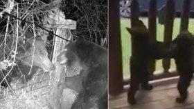Drsné souboje mocných medvědů: Dva se porvali o hranice teritoria, dva menší to zkusili na verandě