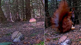 Unikátní video z lesa: Hříbek zmizel v přímém přenosu! Kamery načapaly veverku houbařku