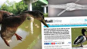Hororový kačer z Plzně je celebritou! O drůbeži se šípem v hlavě píšou i ve Velké Británii
