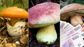Za sběr těchto krasavců až milionová pokuta! Vzácná houba voní po kokosu a vanilce!