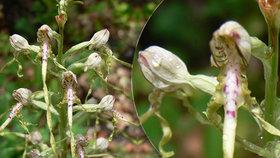 Parádní objev: Botanici našli v Podyjí vzácnou orchidej, poprvé po 70 letech