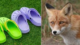 Mazaná liška ukradla Berlíňanům přes sto párů bot. Oblíbila si hlavně crocsy