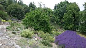 Levandulový ráj v botanické zahradě v Troji: Fialové lány kvetou ve sklenících i venku